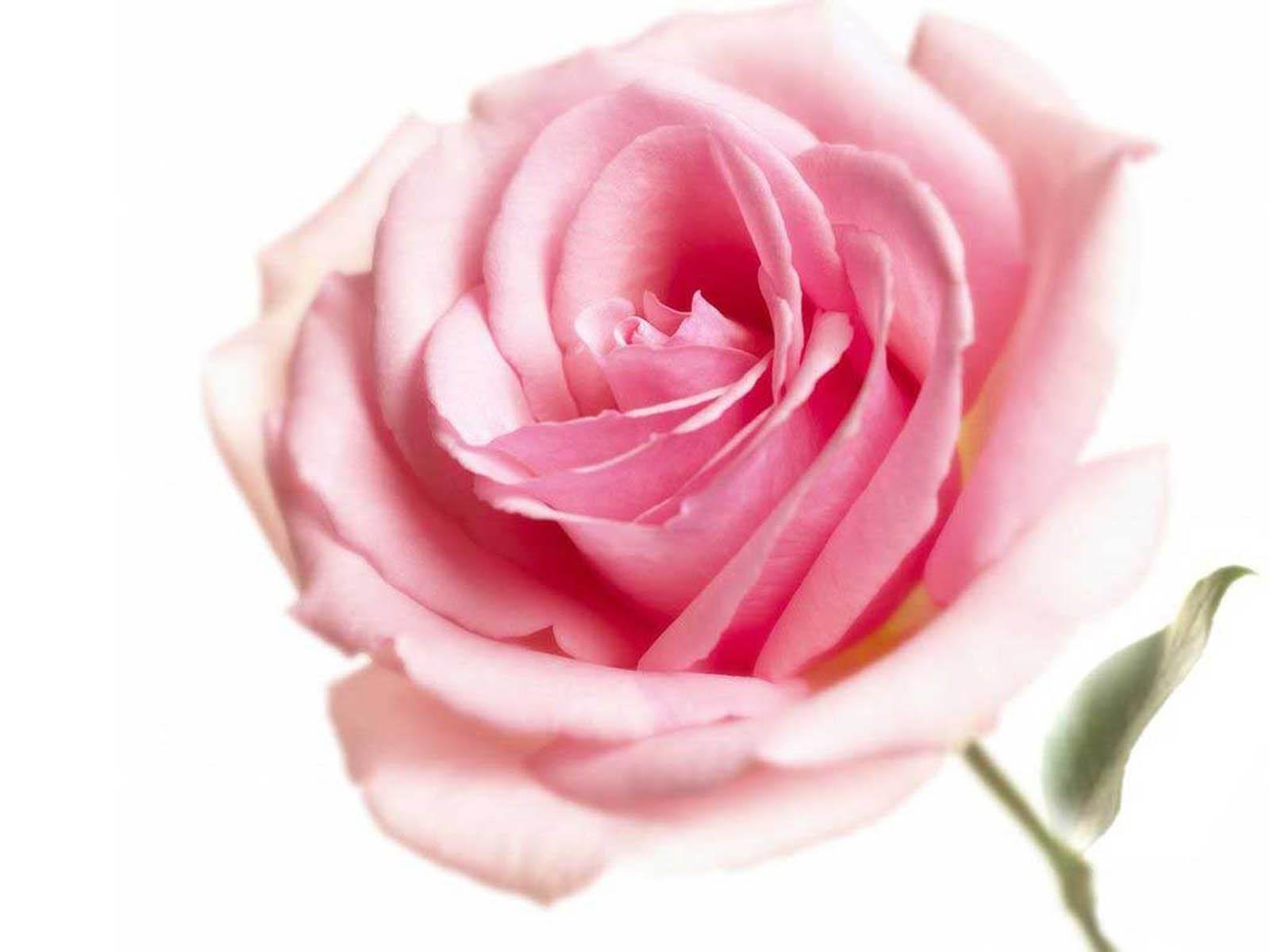 กลิ่นกุหลาบ ( Rose Flavor )