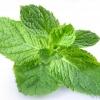 กลิ่นเปปเปอร์มิ้นท์ ( Peppermint Flavor )